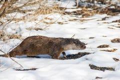 European otter royalty free stock photo