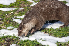 European otter royalty free stock photography