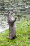 European Otter. Standing Stock Images
