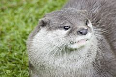 European Otter. Head picture of a European Otter Stock Image