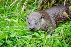 European otter Royalty Free Stock Photos