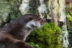 European otter in background of a tree royalty free stock images