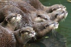 European otter begging Royalty Free Stock Photos
