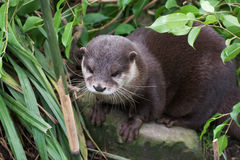 European otter in the bushes Stock Photos