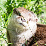 European otter close up Royalty Free Stock Image