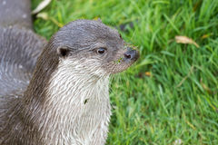 European Otter. European Otter close up of head Stock Images