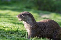 European otter. Close up portrait of a european otter stock photography