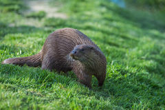 European Otter. Royalty Free Stock Image