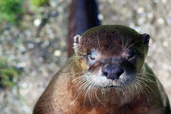 European otter. Cute european otter with big nose Royalty Free Stock Photos