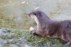 European Otter. European Otter eating broiler on lake side Stock Photo