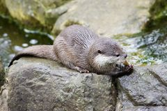 European Otter eating fish. On rocks royalty free stock photography
