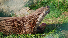 European otter eating fish Royalty Free Stock Image