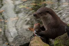 European otter eats fish royalty free stock images