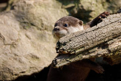 European otter family Lutra lutra royalty free stock images