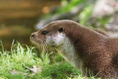 European Otter on grass Stock Images