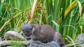 European Otter on grass Royalty Free Stock Photo