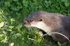European Otter. European Otter head in grass field Royalty Free Stock Image