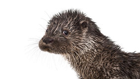 European otter looking at the camera, Stock Photo