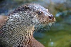 European otter - lutra Stock Photos