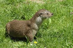 European Otter (Lutra lutra) Stock Images