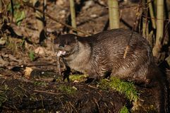 European Otter (Lutra lutra) Stock Photos