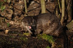 European Otter (Lutra lutra) Royalty Free Stock Photo