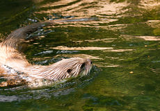 European Otter (Lutra lutra) Stock Image
