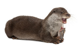 European Otter, Lutra lutra Stock Photography