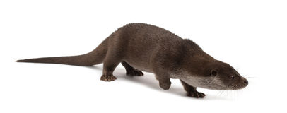 European Otter, Lutra lutra, 6 years old Stock Photo