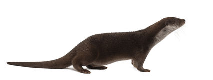 European Otter, Lutra lutra, 6 years old stock images