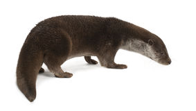 European Otter, Lutra lutra, 6 years old Royalty Free Stock Image