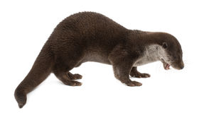 European Otter, Lutra lutra, 6 years old Royalty Free Stock Images