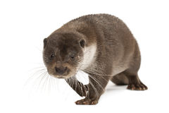 European Otter, Lutra lutra, 6 years old stock photography
