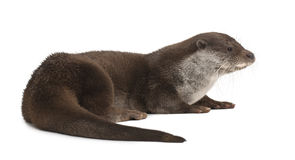 European Otter, Lutra lutra, 6 years old Royalty Free Stock Photo