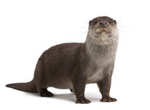 European Otter, Lutra Lutra, 6 Years Old Royalty Free Stock Photos