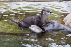 European Otter (Lutra lutra). Also known as Eurasian otter, Eurasian river otter, common otter and Old World otter royalty free stock image