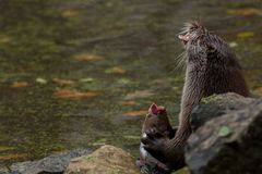 European otter eats fish. European otter `lutra lutra` eats fish royalty free stock images