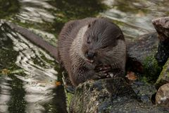 European otter eats fish royalty free stock photo