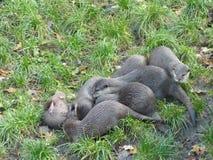 European otter Lutra lutra Stock Photo