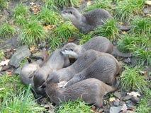 European otter Lutra lutra royalty free stock photos
