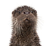 European otter, Lutra lutra, isolated Stock Image