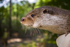 European otter (Lutra lutra lutra) in hand. A handicapped otter in a zoo which works as a wildlife rescue center too Royalty Free Stock Photos