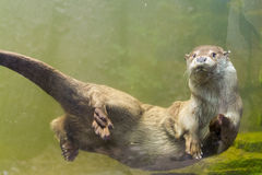 European otter (Lutra lutra lutra) royalty free stock photos