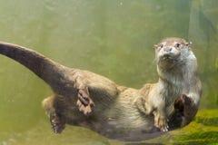 European otter (Lutra lutra lutra) Royalty Free Stock Photos