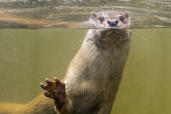 European otter (Lutra lutra lutra) royalty free stock photography