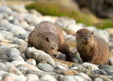 European otter (Lutra lutra) Royalty Free Stock Photography