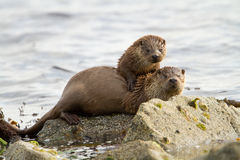 European otter (Lutra lutra). European otters (Lutra lutra), mother and cub on shoreline, Shetland, Scotland Royalty Free Stock Photos