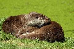 European Otter - Lutra lutra Stock Image