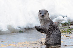European Otter (Lutra Lutra). This otter you can also call eurasian river otter Stock Images