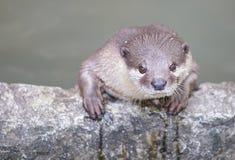 European Otter (Lutra lutra) Royalty Free Stock Photo
